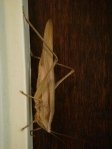 this bug lived on my door. i called him grandfather. i dunno.